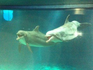 Dolphins perform during a show at The Seas.